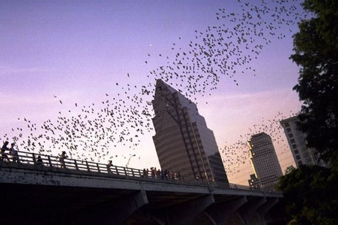 The View of Bat Bridge during dusk from The Austin American Statesman